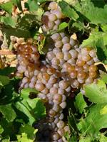 La uva de mesa