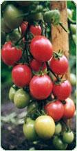 El licopeno y el tomate